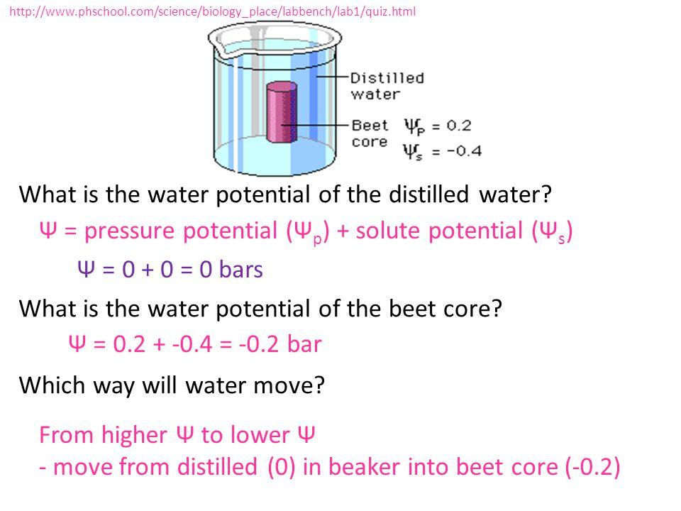 What is the water potential of the distilled water? What is the water potential of the beet core? Which way will water move? http://www.phschool.com/s