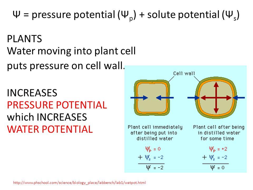 Ψ = pressure potential (Ψ p ) + solute potential (Ψ s ) PLANTS Water moving into plant cell puts pressure on cell wall. INCREASES PRESSURE POTENTIAL w
