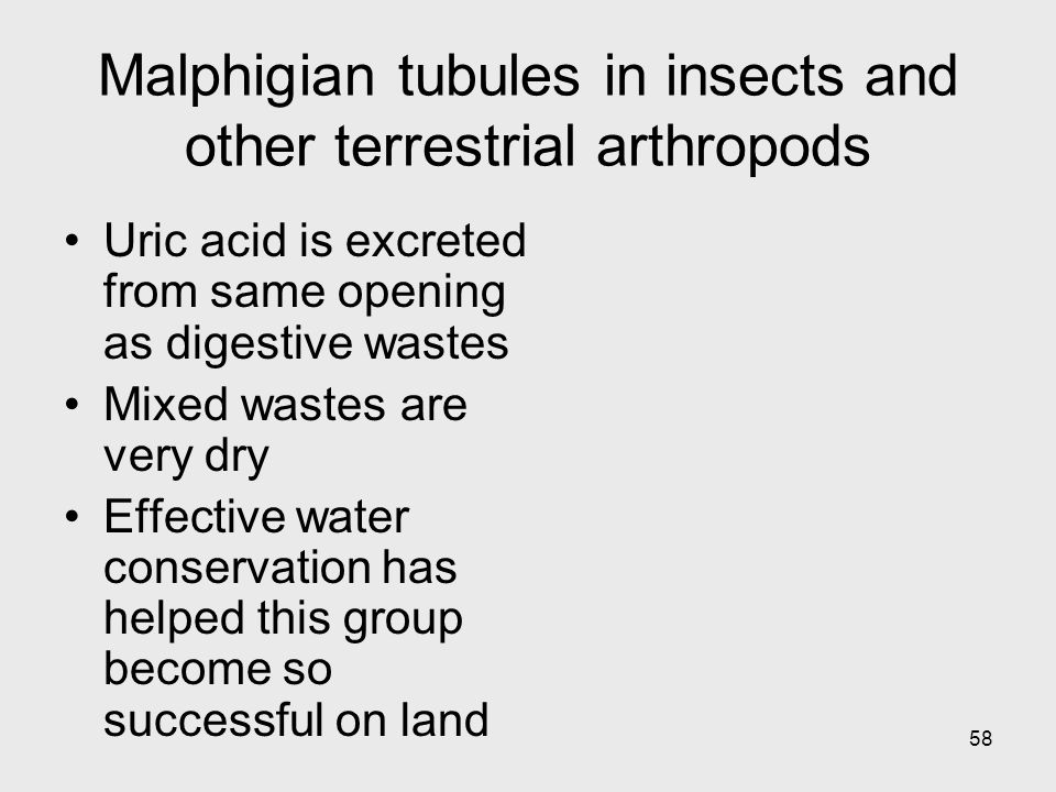 58 Malphigian tubules in insects and other terrestrial arthropods Uric acid is excreted from same opening as digestive wastes Mixed wastes are very dr