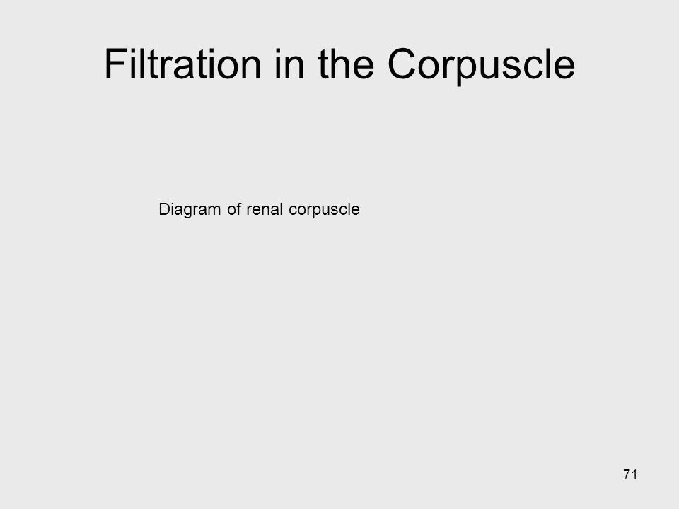 71 Diagram of renal corpuscle Filtration in the Corpuscle