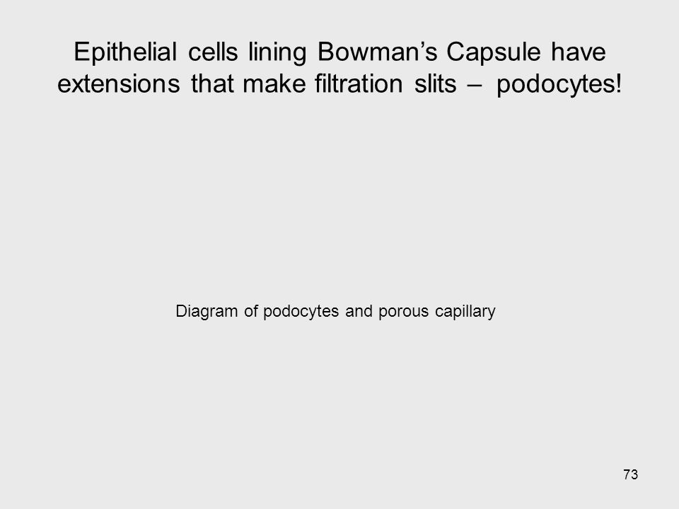 73 Diagram of podocytes and porous capillary Epithelial cells lining Bowmans Capsule have extensions that make filtration slits – podocytes!