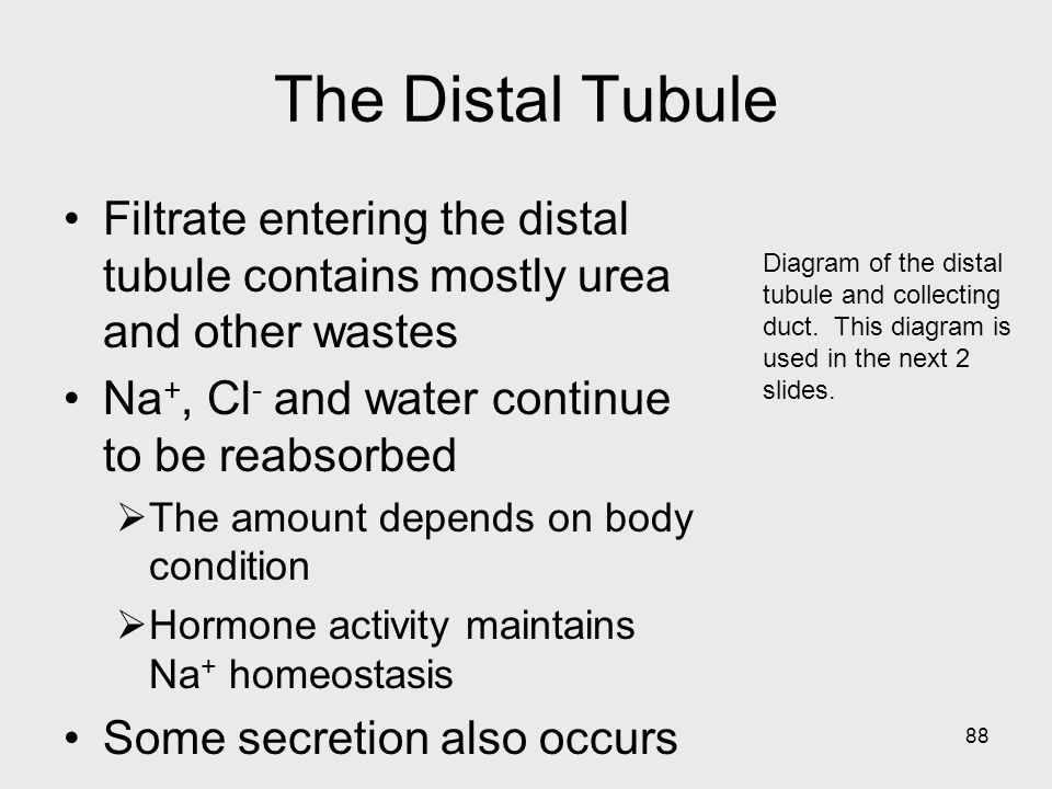 88 Diagram of the distal tubule and collecting duct. This diagram is used in the next 2 slides. The Distal Tubule Filtrate entering the distal tubule