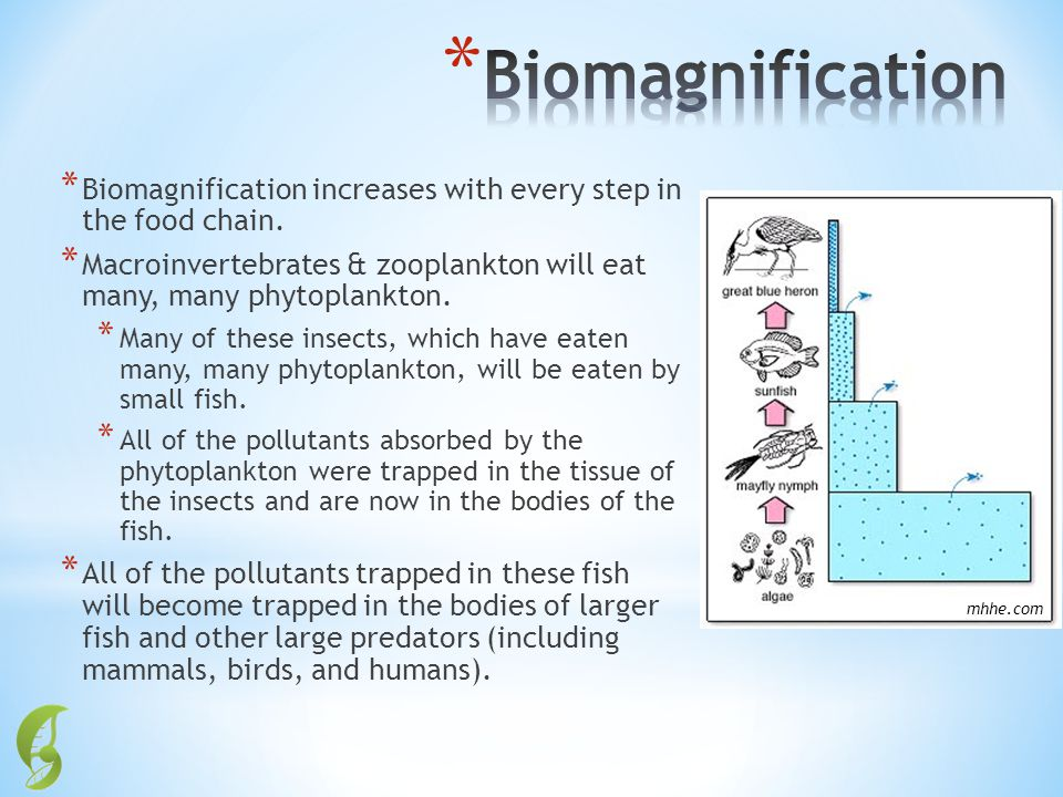 * Biomagnification increases with every step in the food chain. * Macroinvertebrates & zooplankton will eat many, many phytoplankton. * Many of these