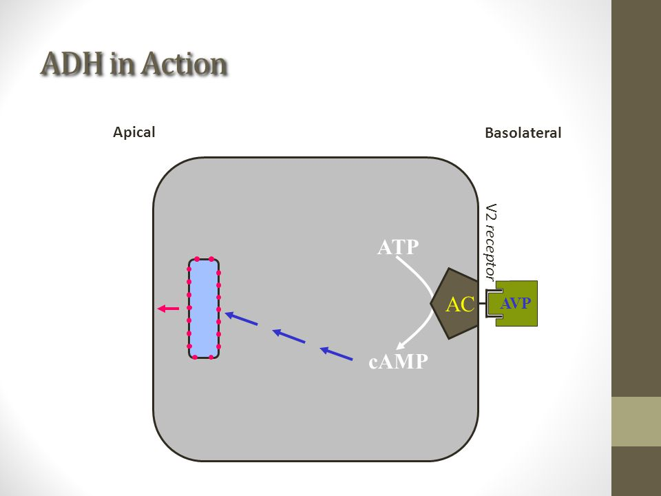 ADH in Action ATP cAMP AC AVP Basolateral Apical V2 receptor