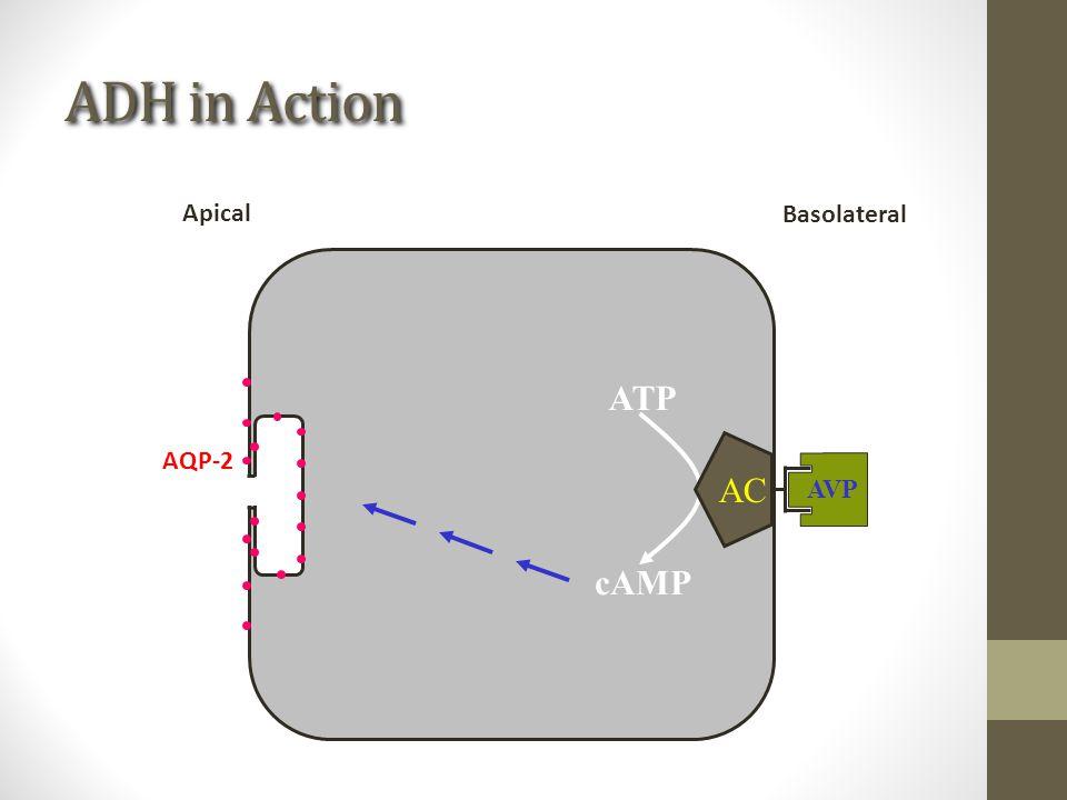 ADH in Action ATP cAMP AC AVP Basolateral Apical AQP-2