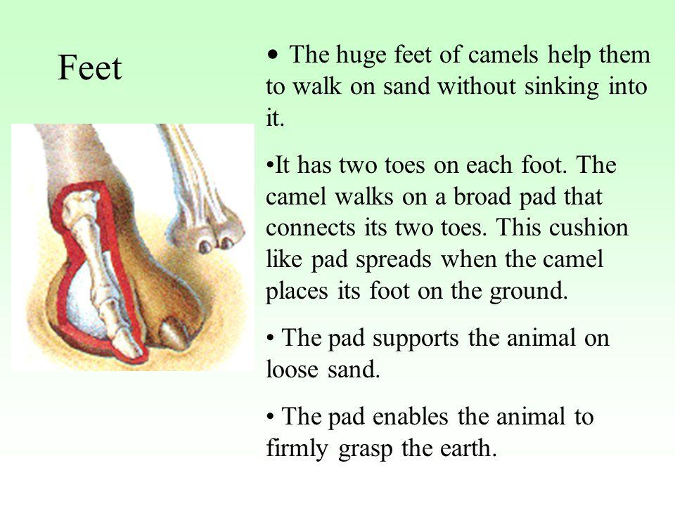 The huge feet of camels help them to walk on sand without sinking into it. It has two toes on each foot. The camel walks on a broad pad that connects