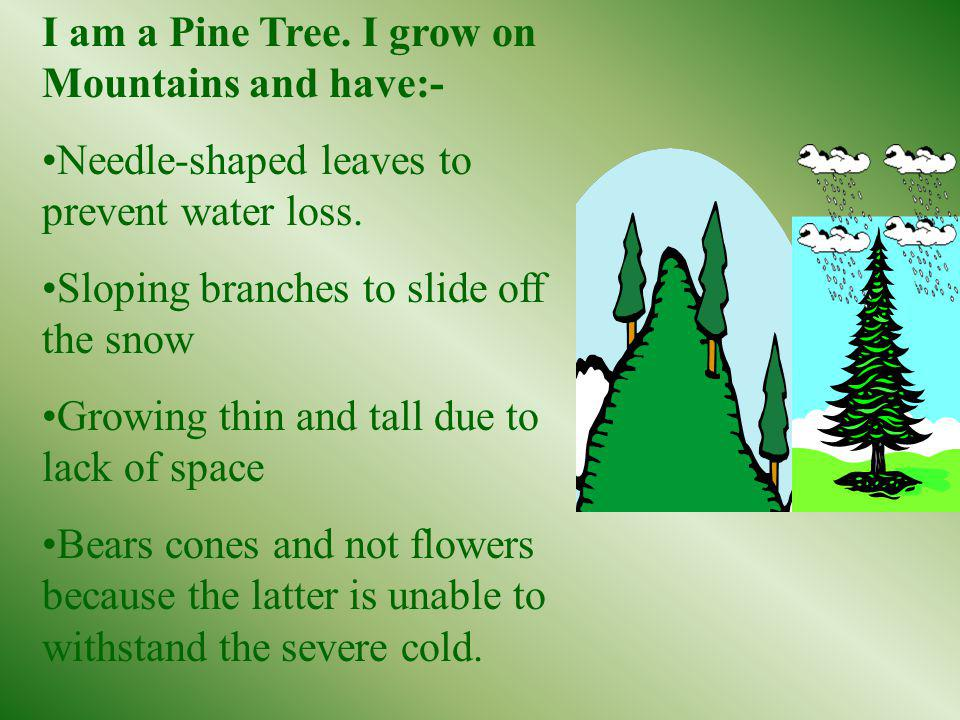I am a Pine Tree. I grow on Mountains and have:- Needle-shaped leaves to prevent water loss. Sloping branches to slide off the snow Growing thin and t