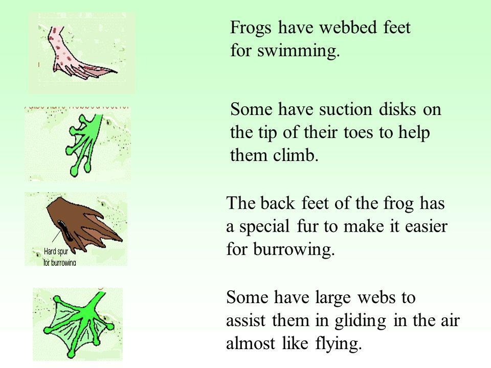 Frogs have webbed feet for swimming. Some have suction disks on the tip of their toes to help them climb. The back feet of the frog has a special fur