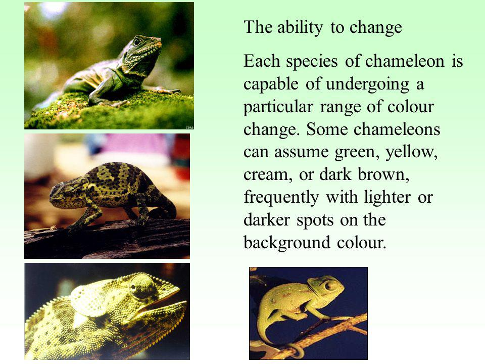 The ability to change Each species of chameleon is capable of undergoing a particular range of colour change. Some chameleons can assume green, yellow