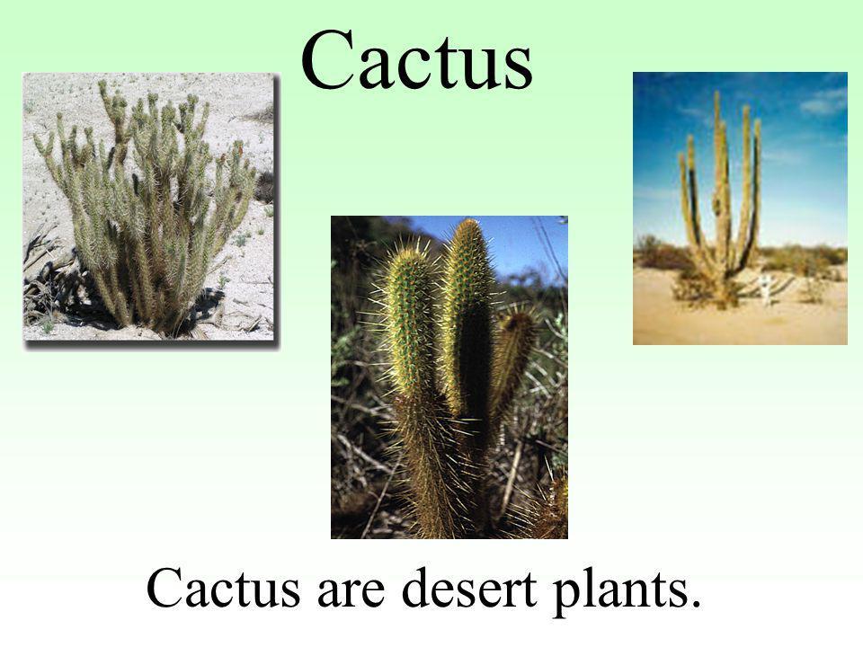 Cactus Cactus are desert plants.