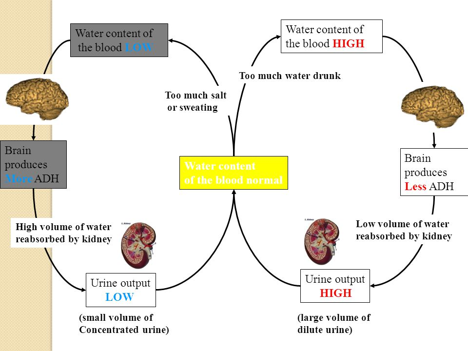 Water content of the blood normal Water content of the blood HIGH Water content of the blood LOW Too much water drunk Too much salt or sweating Brain