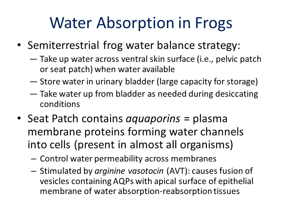 Water Absorption in Frogs Semiterrestrial frog water balance strategy: Take up water across ventral skin surface (i.e., pelvic patch or seat patch) wh