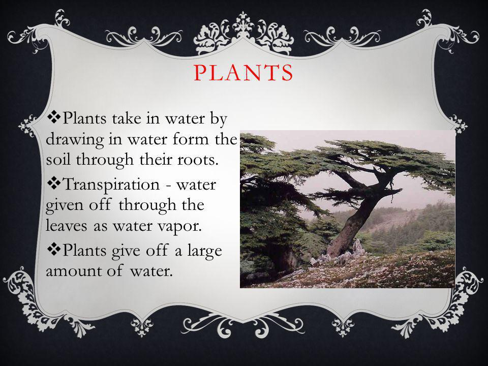 PLANTS Plants take in water by drawing in water form the soil through their roots. Transpiration - water given off through the leaves as water vapor.