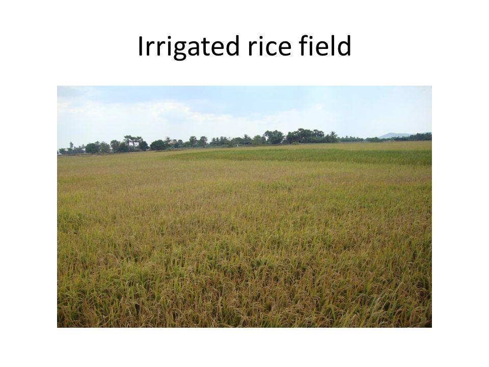 Irrigated rice field