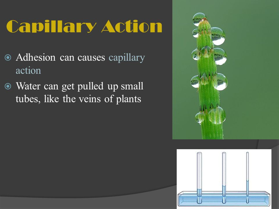 Capillary Action Adhesion can causes capillary action Water can get pulled up small tubes, like the veins of plants