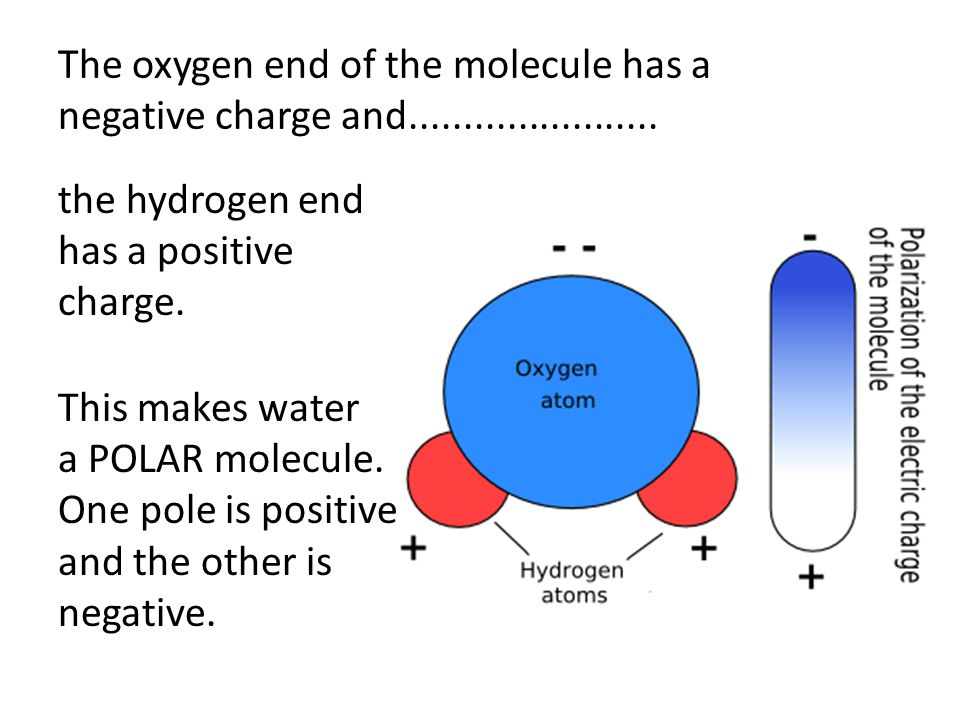 Because opposites attract, the positive end of one water molecule is attracted to the negative end of any nearby water molecule.