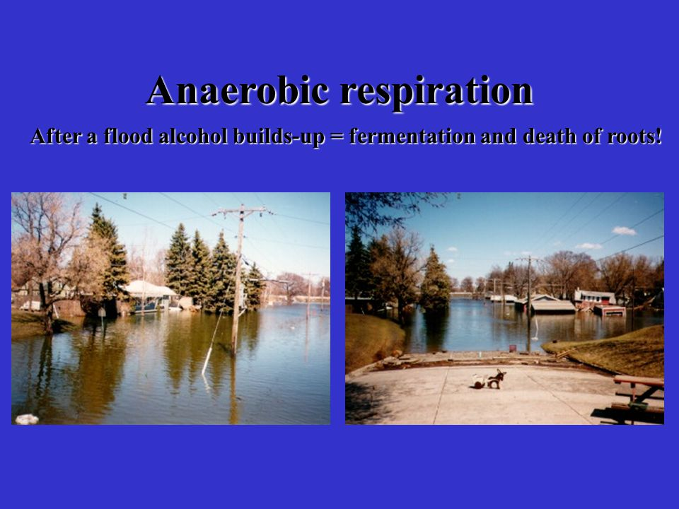 Anaerobic respiration After a flood alcohol builds-up = fermentation and death of roots!