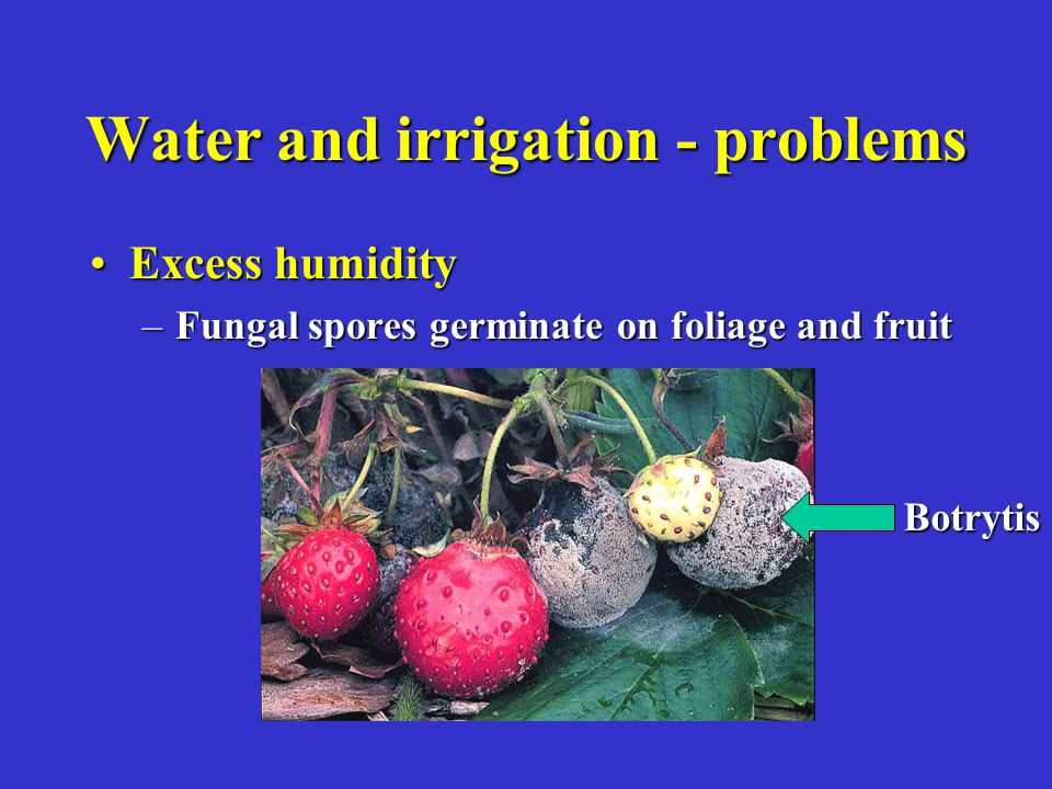 Water and irrigation - problems Excess humidityExcess humidity –Fungal spores germinate on foliage and fruit Botrytis