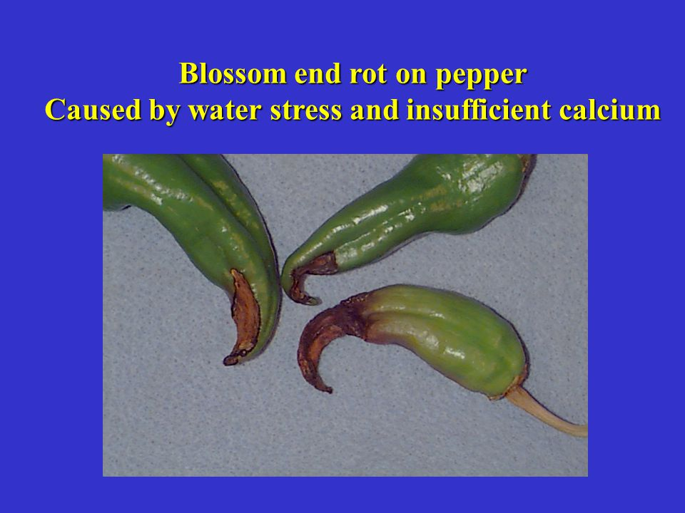 Blossom end rot on pepper Caused by water stress and insufficient calcium