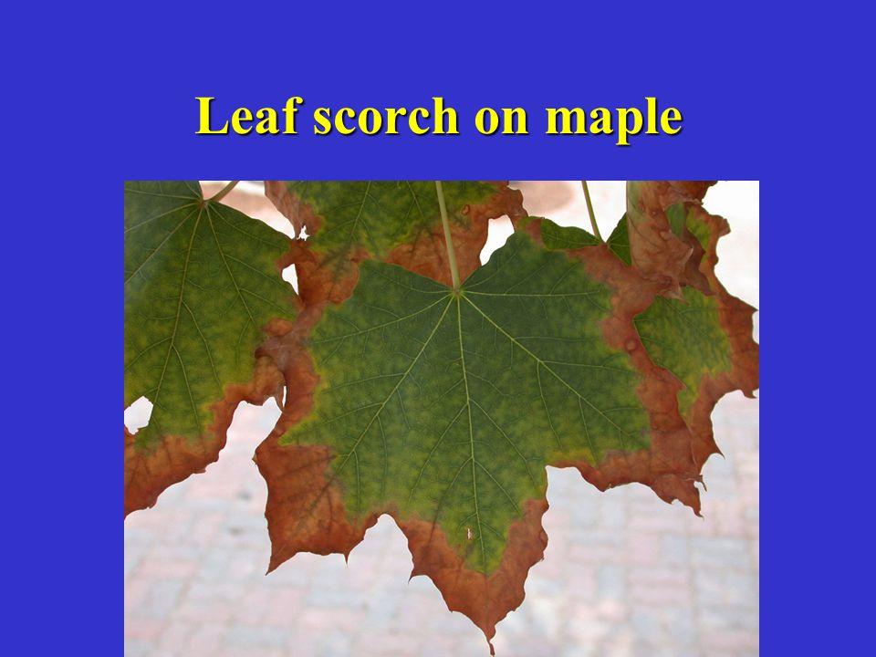 Leaf scorch on maple