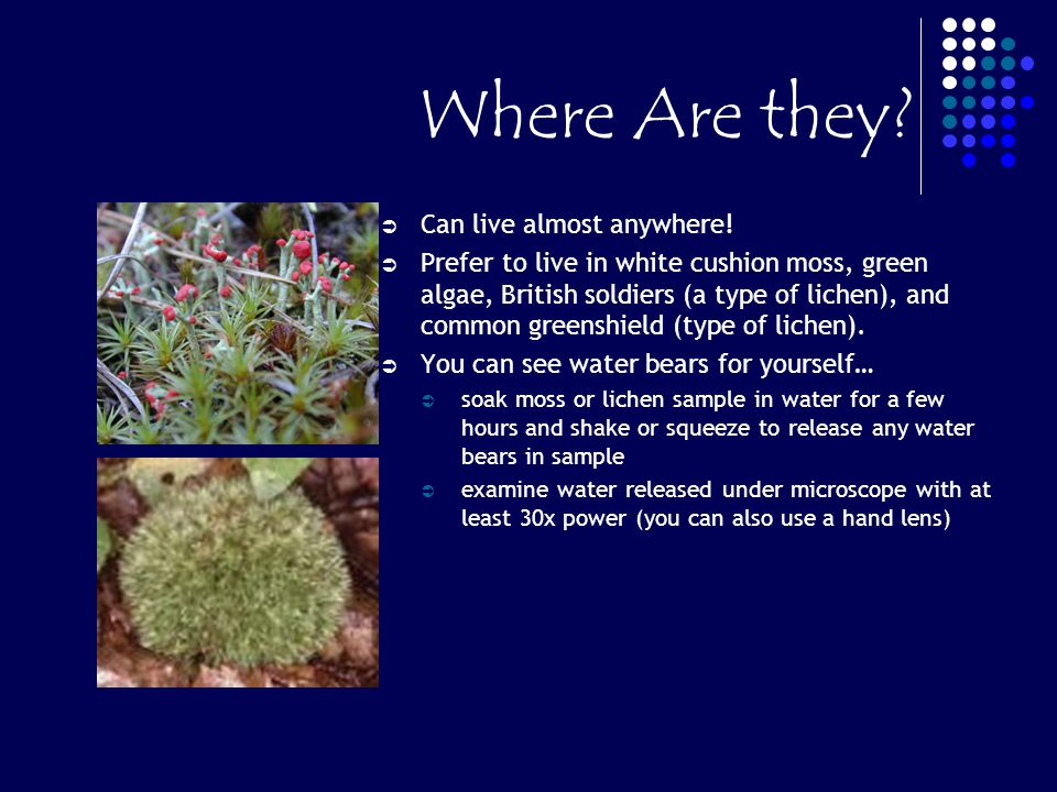 Where Are they? Can live almost anywhere! Prefer to live in white cushion moss, green algae, British soldiers (a type of lichen), and common greenshie