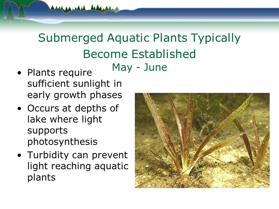 Submerged Aquatic Plants Typically Become Established May - June Plants require sufficient sunlight in early growth phases Occurs at depths of lake where light supports photosynthesis Turbidity can prevent light reaching aquatic plants