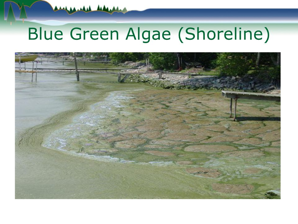 Blue Green Algae (Shoreline)