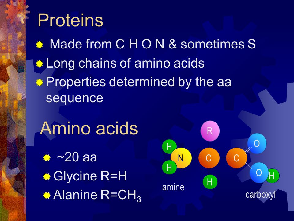 Proteins Made from C H O N & sometimes S Long chains of amino acids Properties determined by the aa sequence Amino acids H C H NC H H O O R ~20 aa Glycine R=H Alanine R=CH 3 amine carboxyl