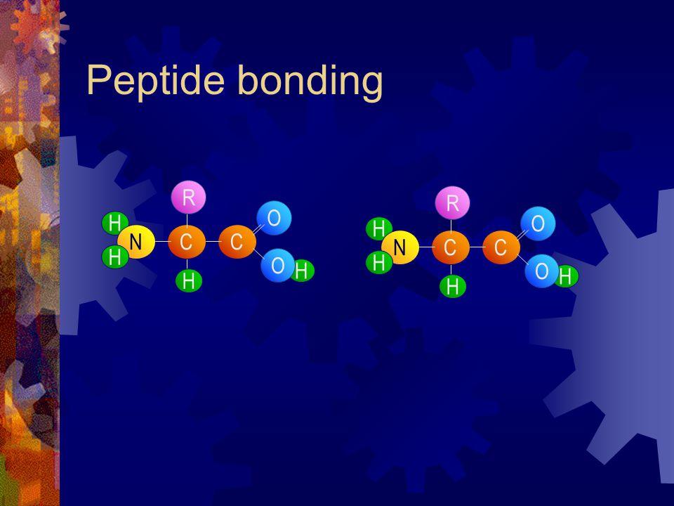 Peptide bonding H C H NC H H O O R H C H NC H H O O R