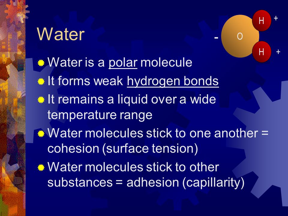 Water Water is a polar molecule It forms weak hydrogen bonds It remains a liquid over a wide temperature range Water molecules stick to one another = cohesion (surface tension) Water molecules stick to other substances = adhesion (capillarity) O H H + + -