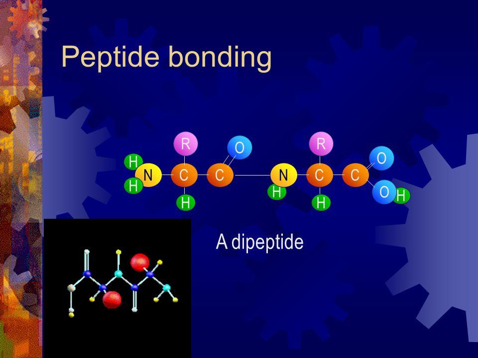Peptide bonding C H NC H H O R H C H NC H O O R A dipeptide