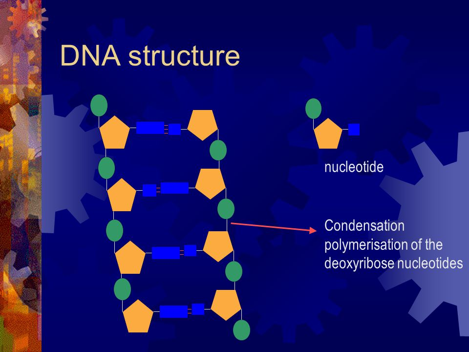DNA structure nucleotide Condensation polymerisation of the deoxyribose nucleotides