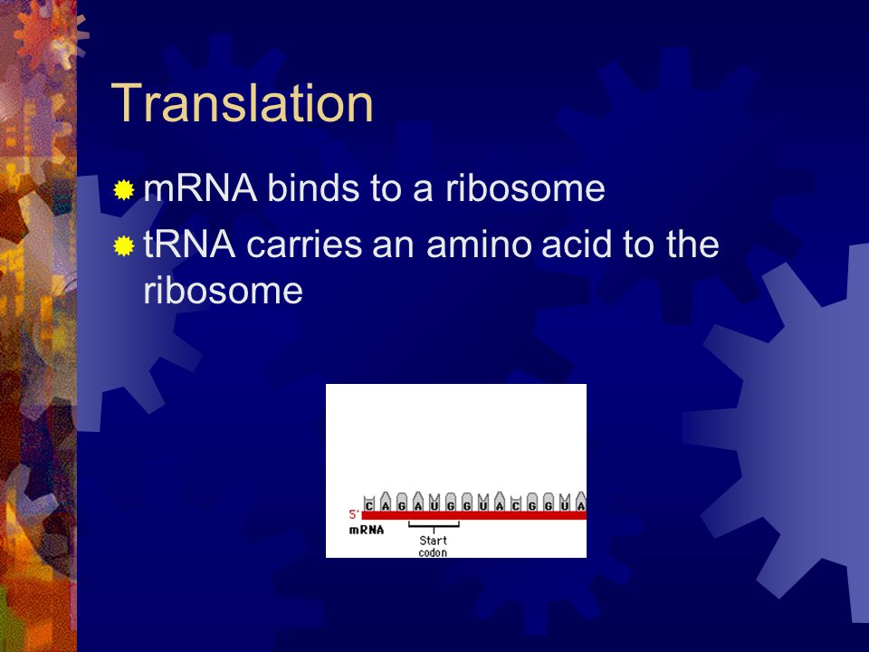 Translation mRNA binds to a ribosome tRNA carries an amino acid to the ribosome