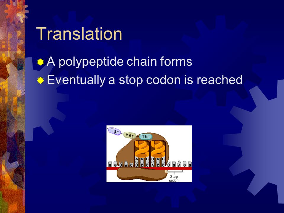 Translation A polypeptide chain forms Eventually a stop codon is reached