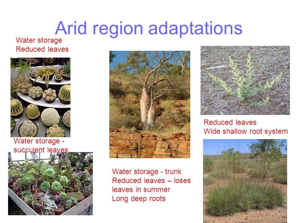 Arid region adaptations Water storage Reduced leaves Water storage - succulent leaves Water storage - trunk Reduced leaves – loses leaves in summer Lo