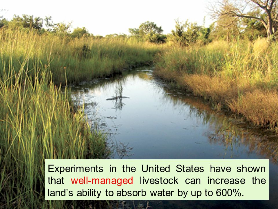 Experiments in the United States have shown that well-managed livestock can increase the lands ability to absorb water by up to 600%.