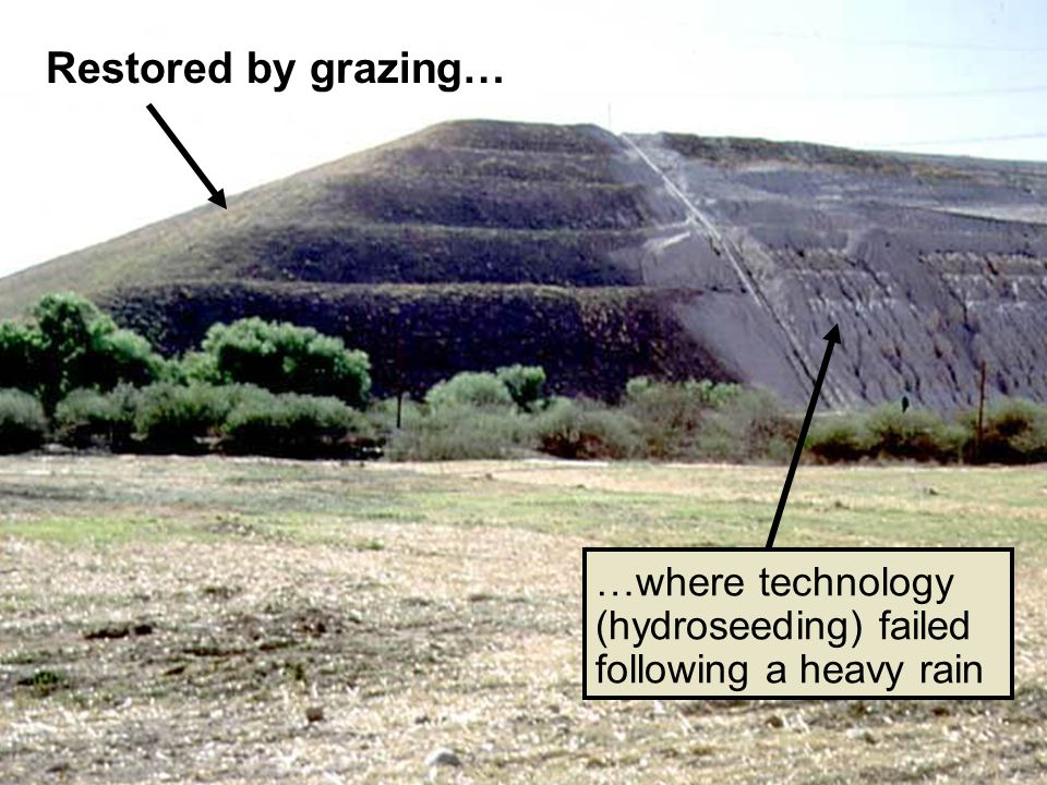 Restored by grazing… …where technology (hydroseeding) failed following a heavy rain
