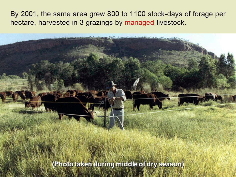 By 2001, the same area grew 800 to 1100 stock-days of forage per hectare, harvested in 3 grazings by managed livestock.