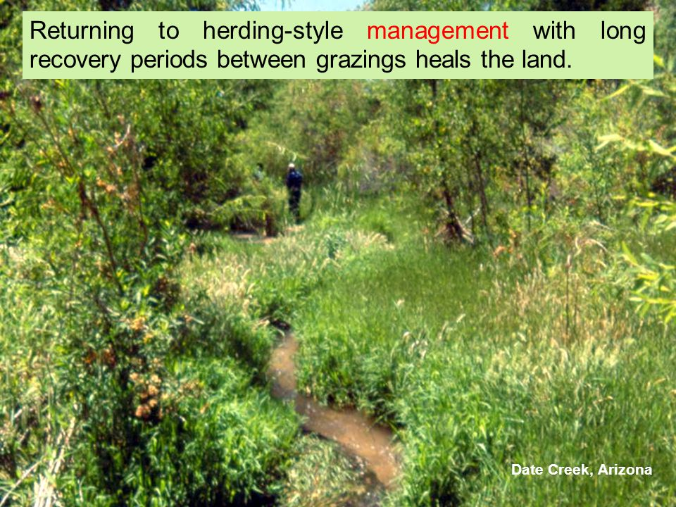 Returning to herding-style management with long recovery periods between grazings heals the land. Date Creek, Arizona