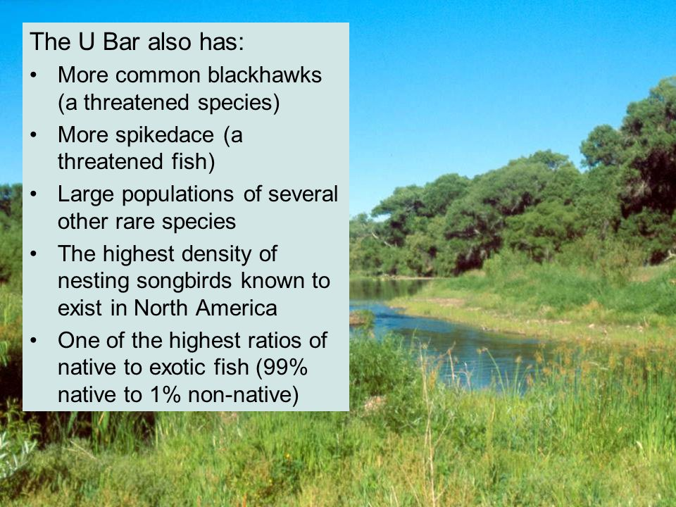 The U Bar also has: More common blackhawks (a threatened species) More spikedace (a threatened fish) Large populations of several other rare species The highest density of nesting songbirds known to exist in North America One of the highest ratios of native to exotic fish (99% native to 1% non-native)