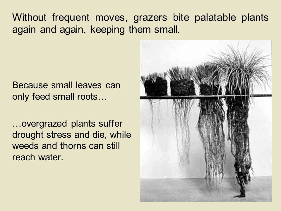 Without frequent moves, grazers bite palatable plants again and again, keeping them small.