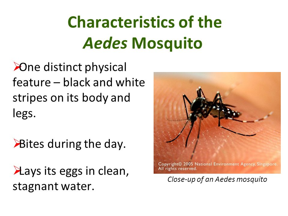 Characteristics of the Aedes Mosquito One distinct physical feature – black and white stripes on its body and legs. Bites during the day. Lays its egg