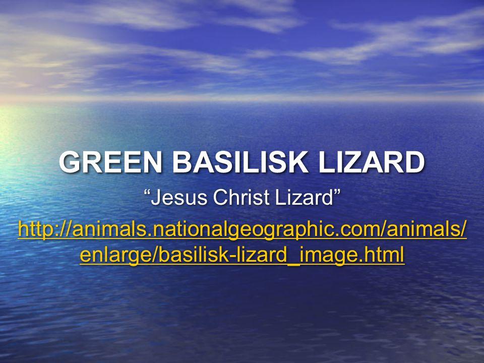 GREEN BASILISK LIZARD Jesus Christ Lizard http://animals.nationalgeographic.com/animals/ enlarge/basilisk-lizard_image.html Jesus Christ Lizard http:/