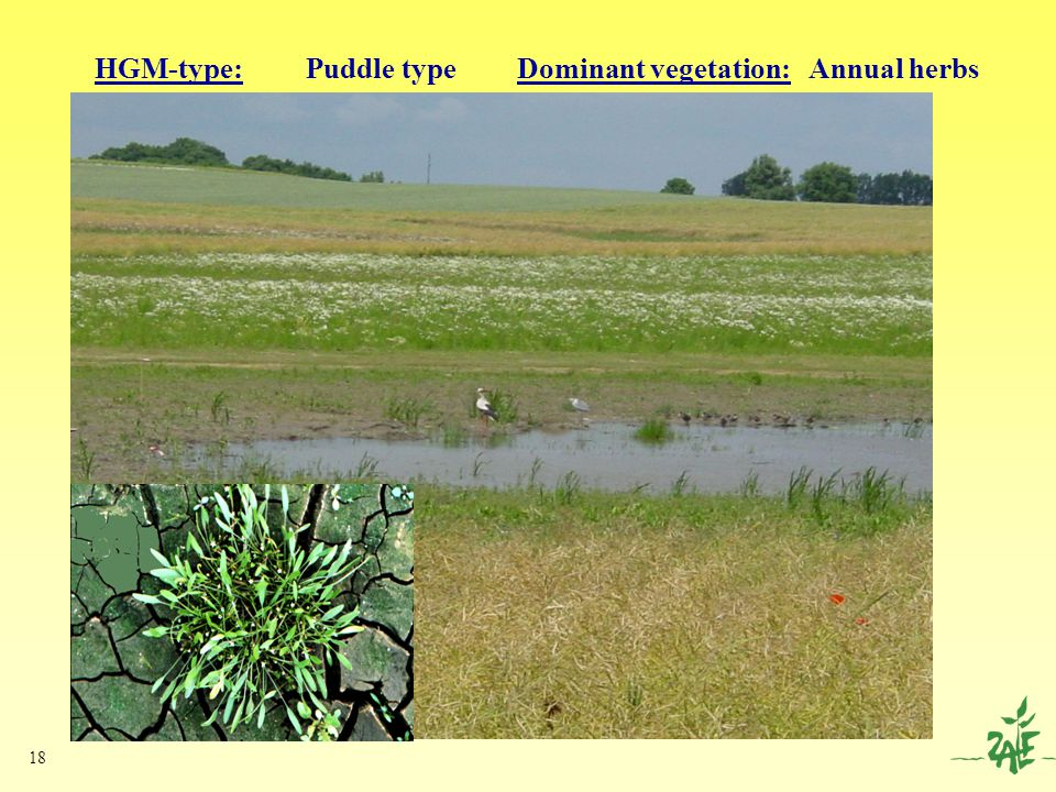 18 HGM-type: Puddle typeDominant vegetation: Annual herbs