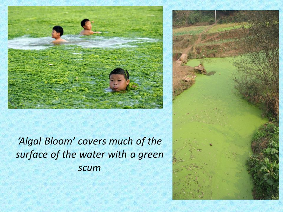 Algal Bloom covers much of the surface of the water with a green scum
