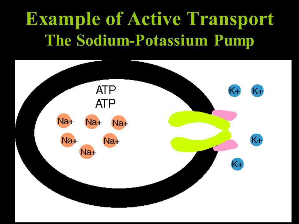 Example of Active Transport The Sodium-Potassium Pump