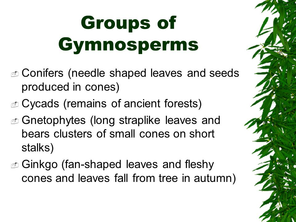 Groups of Gymnosperms Conifers (needle shaped leaves and seeds produced in cones) Cycads (remains of ancient forests) Gnetophytes (long straplike leav