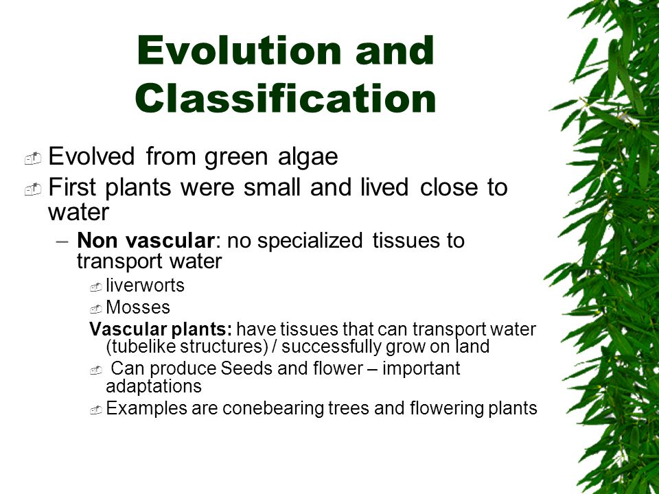 Evolution and Classification Evolved from green algae First plants were small and lived close to water –Non vascular: no specialized tissues to transp