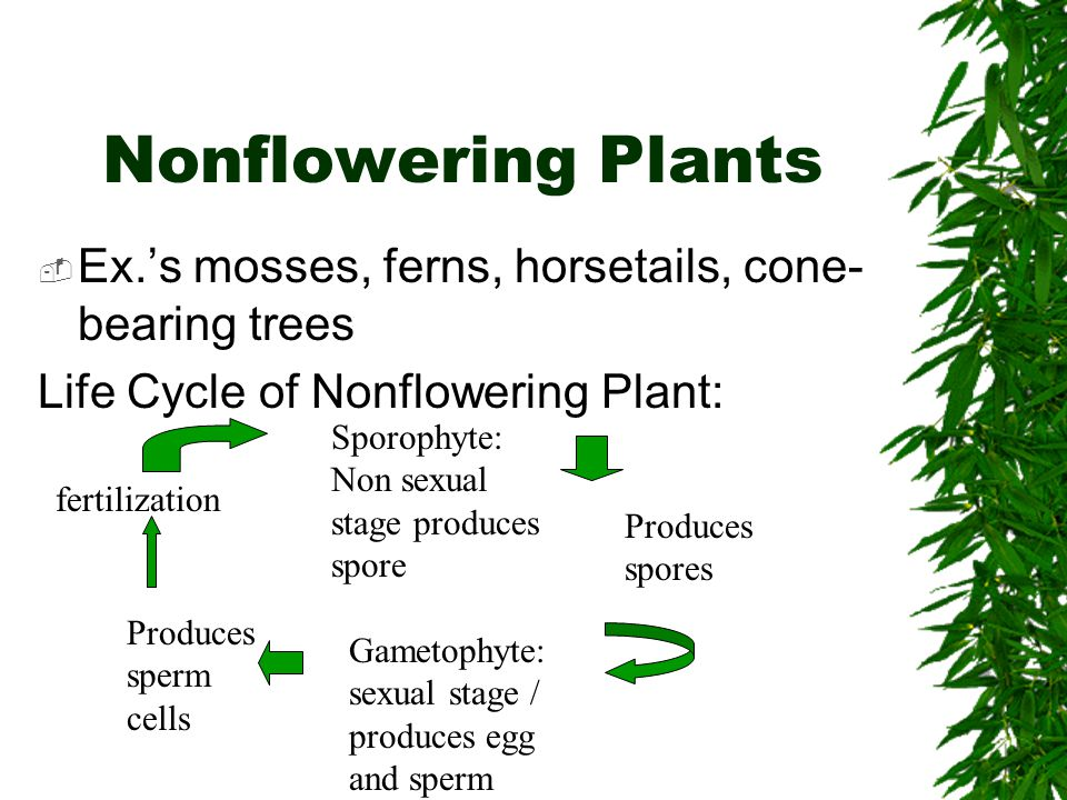 Nonflowering Plants Ex.s mosses, ferns, horsetails, cone- bearing trees Life Cycle of Nonflowering Plant: Sporophyte: Non sexual stage produces spore