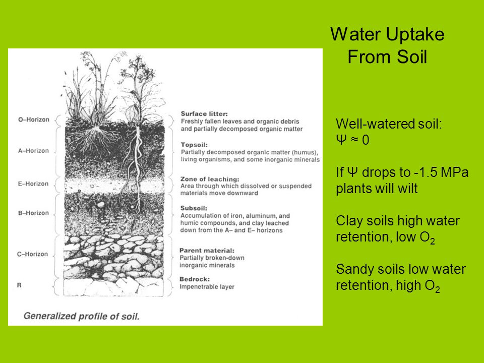 Water Uptake From Soil Well-watered soil: Ψ 0 If Ψ drops to -1.5 MPa plants will wilt Clay soils high water retention, low O 2 Sandy soils low water r
